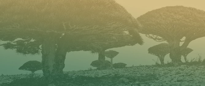What We Know and What We Do Not Know about Dragon Trees?