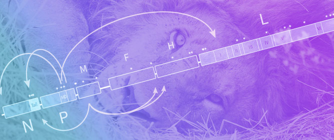 Identifying Candidate Genetic Markers of CDV Cross-Species Pathogenicity in African Lions