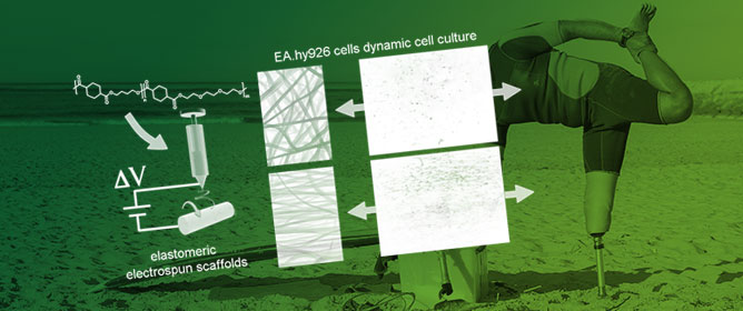 Elastomeric Electrospun Scaffolds of a Biodegradable Aliphatic Copolyester Containing PEG-Like Sequences for Dynamic Culture of Human Endothelial Cells