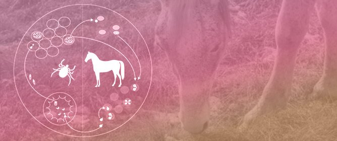 Twenty Years of Equine Piroplasmosis Research: Global Distribution, Molecular Diagnosis, and Phylogeny