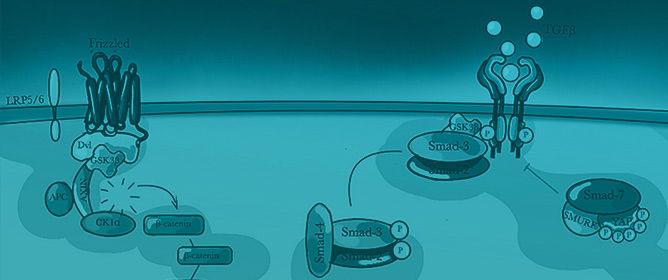 WNT/b-catenin Pathway and its Relation to Gene Transcription Driving Fibrogenesis