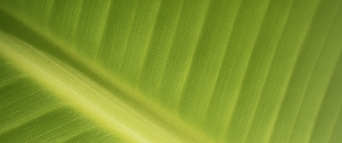 Leaf Optical Properties and Their Contribution to Photosynthesis