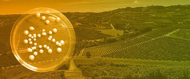 Wine Fermentation Performance of Indigenous <em>Saccharomyces cerevisiae</em> and <em>Saccharomyces paradoxus</em> Strains Isolated in a Piedmont Vineyard