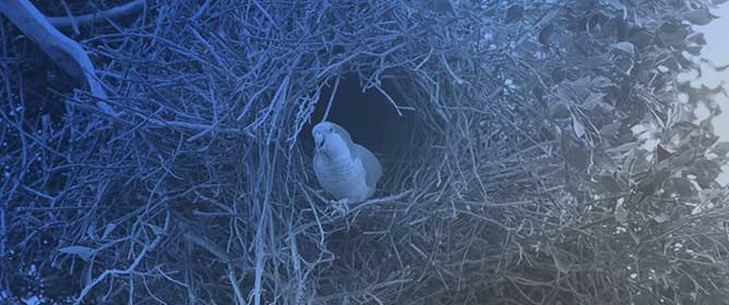 The Role of Monk Parakeets as Nest-Site Facilitators in Their Native and Invaded Areas