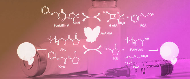 Novel Bifunctional Acylase from <em>Actinoplanes utahensis</em>: A Versatile Enzyme to Synthesize Antimicrobial Compounds and Use in Quorum Quenching Processes